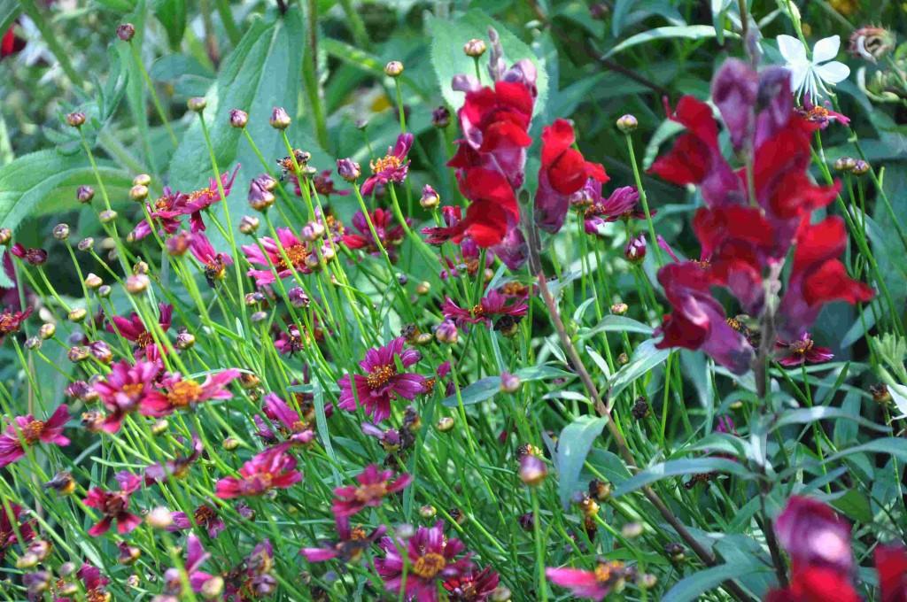 Mörkröda blommor suger till sig solljus.