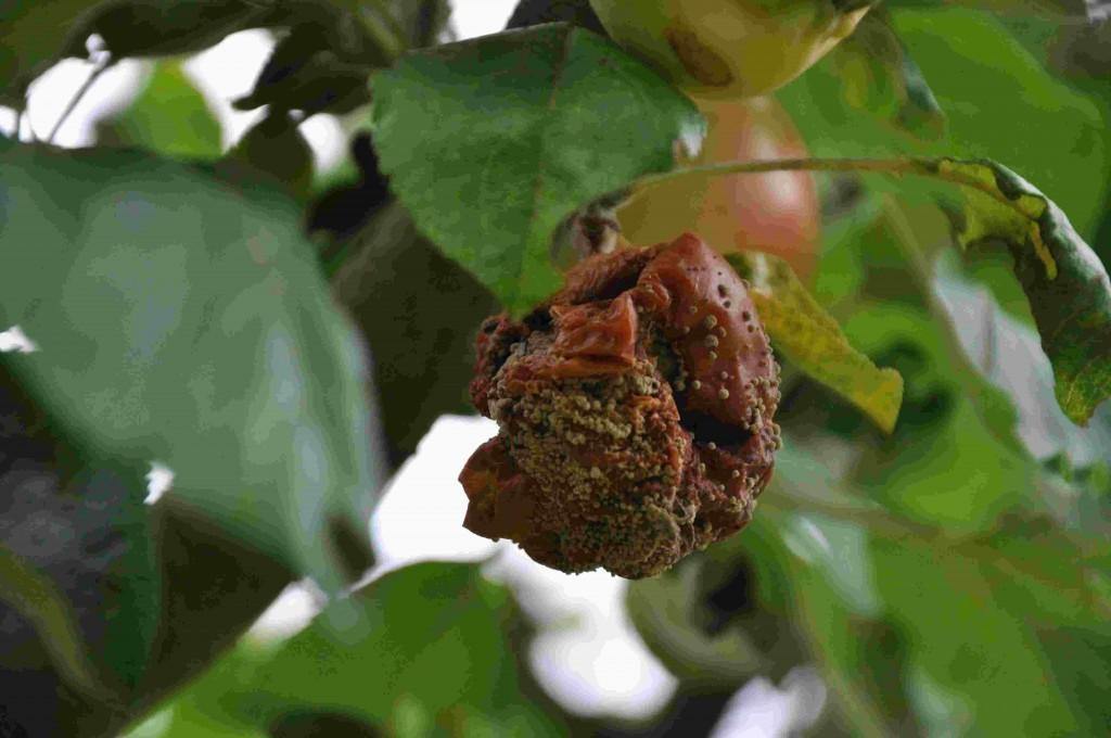 Skrumpna frukter får ringformiga mögelkuddar runt om frukten.