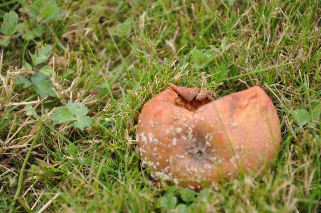 Monilia sprids genom svampsporer som flyttar från frukt till frukt.