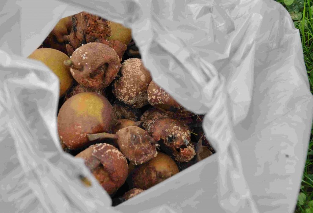Plocka bort frukter som angripits av monilia för att stoppa smittspridningen.