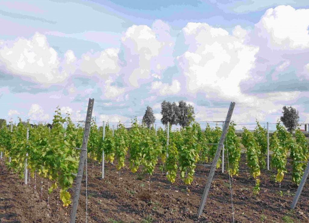 Nysatta vinstockar växer än så länge glest.