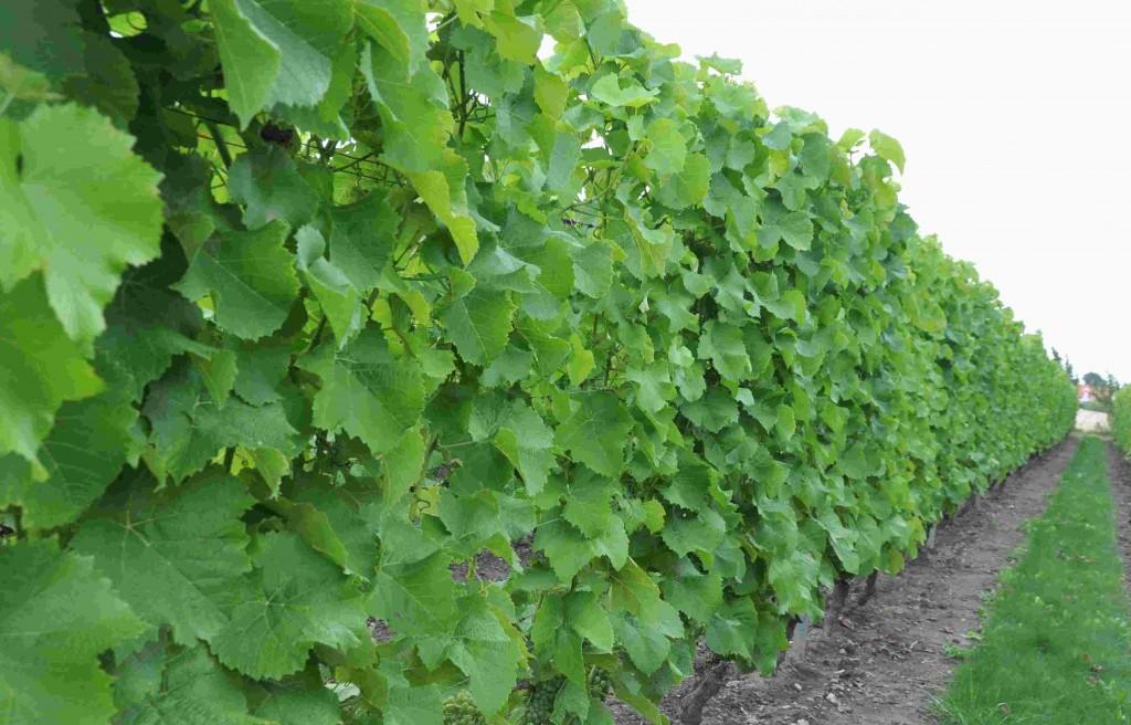 Vinrankorna är välbladade och höga, men frukten sitter längst ner.