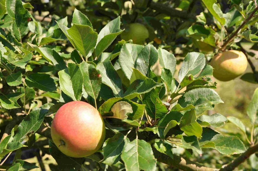 Grengallring och pincering minskar på bladmassan.