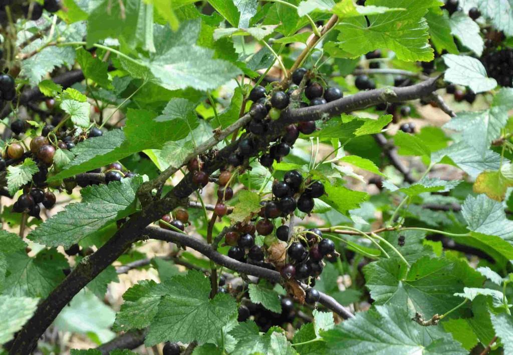 Svarta vinbär innehåller mycket C-vitamin samt ämnen som motverkar högt blodtryck och hjärt- och kärlsjukdomar.