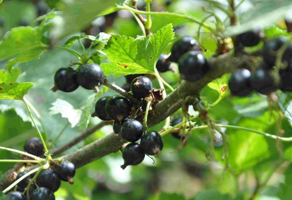 Vinbärsbuskar gallras ur lätt varje år.
