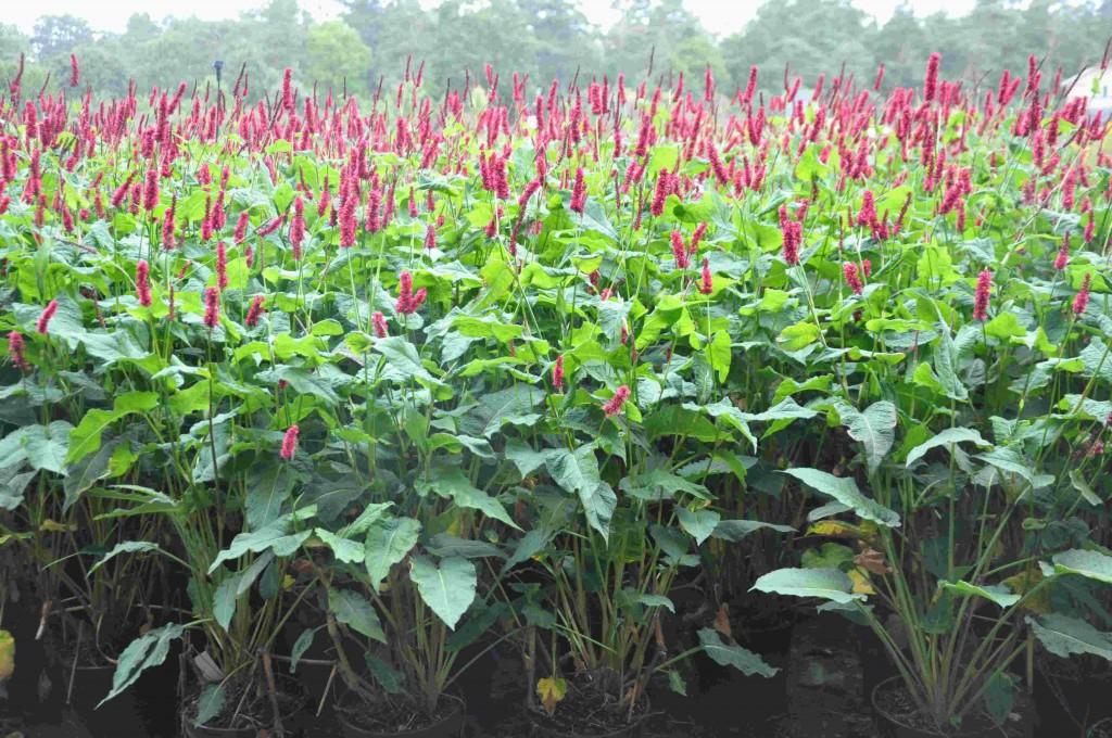Ormroten är en växt som lämpar sig i naturlika planteringar i fuktigare jord.