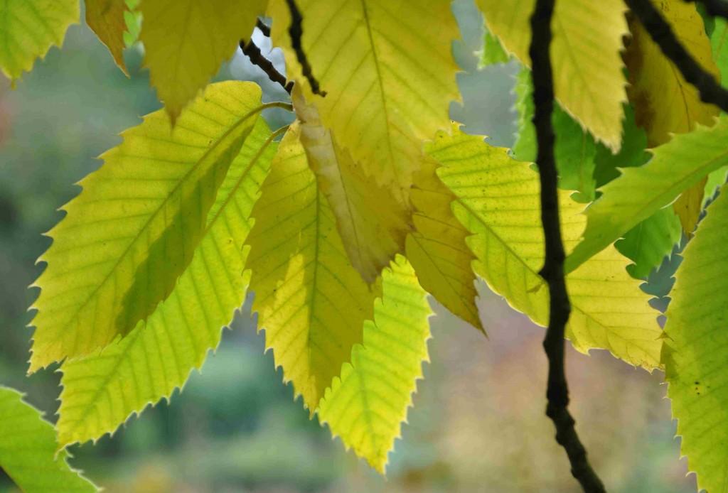 Kastanjens blad blir gula till hösten.