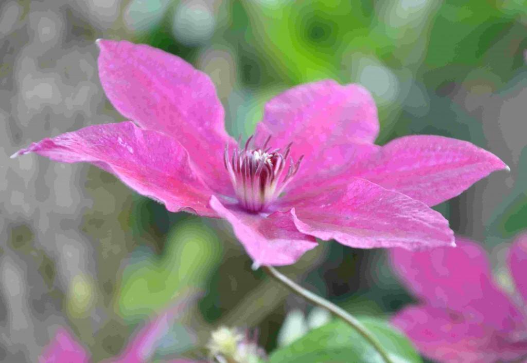 Rödlila blommor på klematis Ruutel i sena augusti.