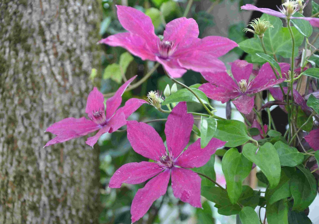 Klematis som återblommar på hösten är tacksamma trädgårdsväxter.