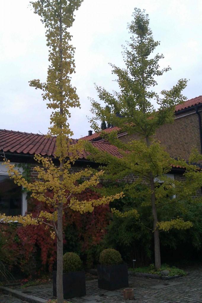Ginkgo blir ett oregelbundet format träd med glesa grenar.