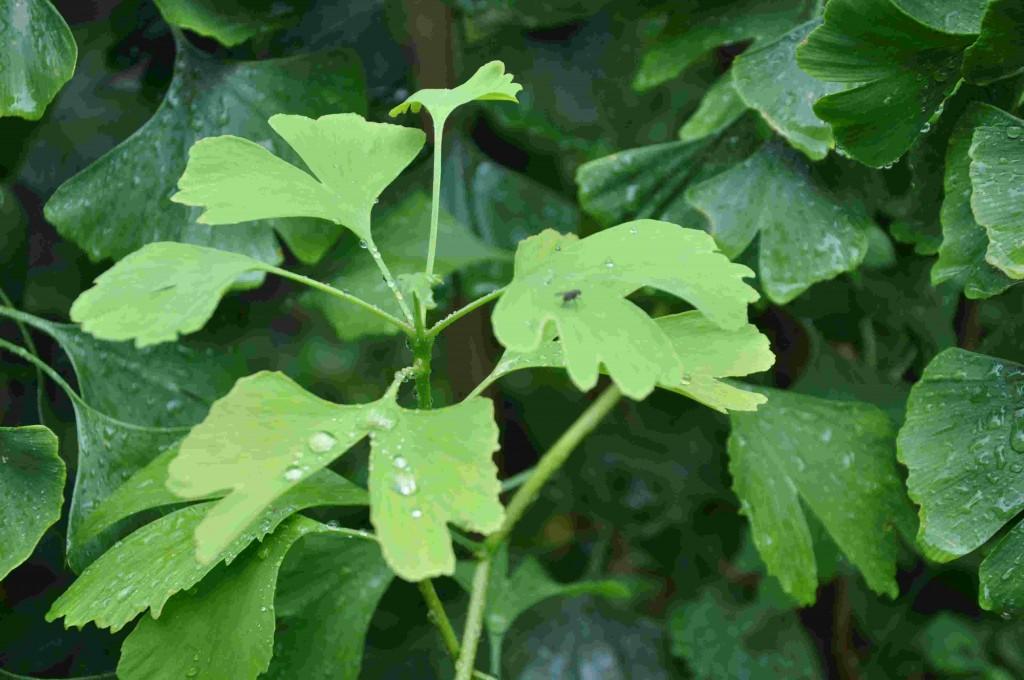 Ginkgo har ljusgröna skott och gul höstfärg.