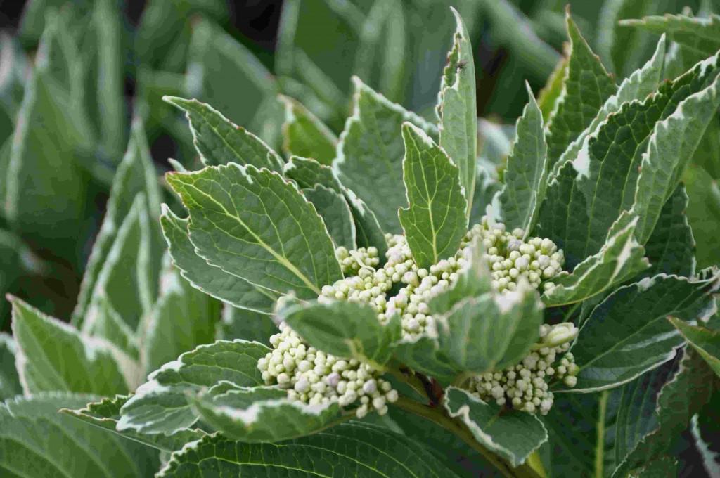 Hortensia med brokiga blad och kompakt växtsätt har saknats på marknaden.