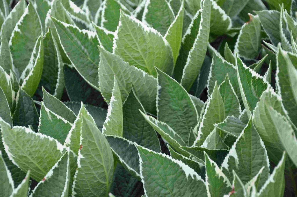 En brokbladig hortensia som passar i soliga till halvskuggiga lägen.