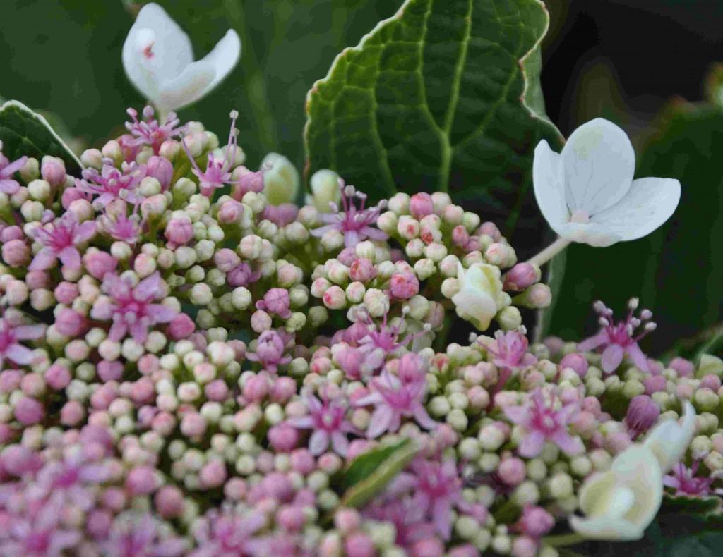 Rosa blommor vid kalkrik jord och blå vid sur jord får hortensiorna.
