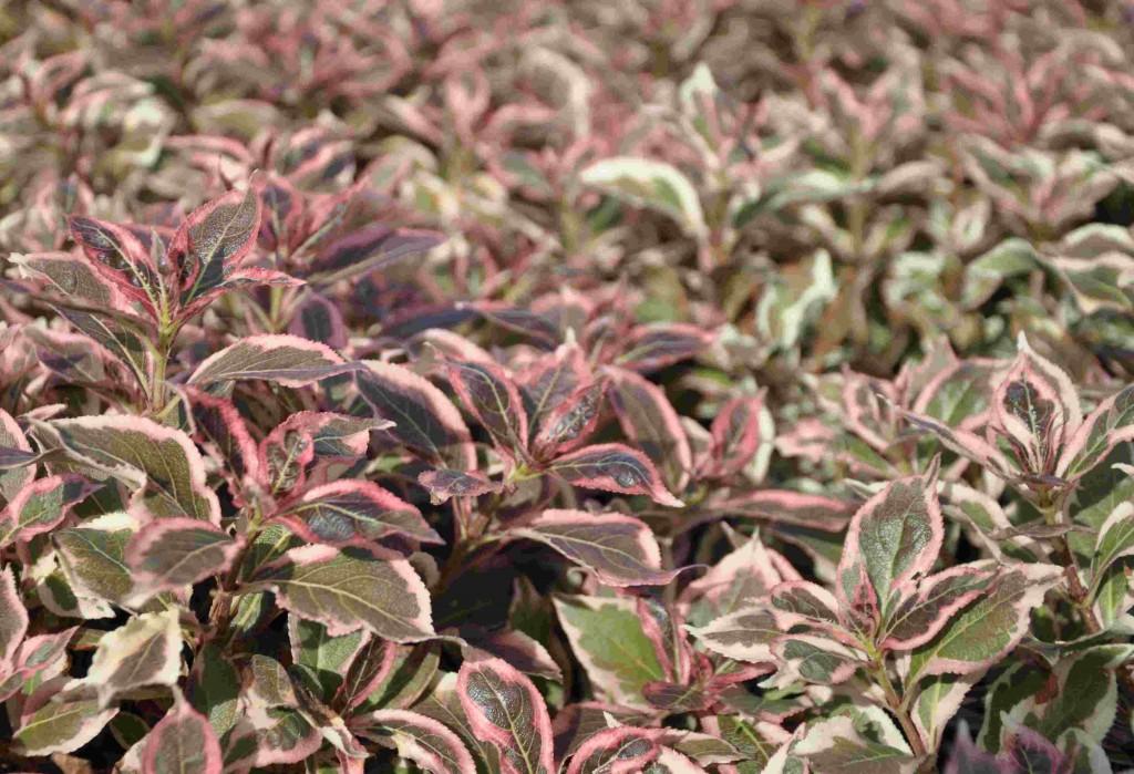 Brokbladig dvärgprakttry skiftar i rosarött.