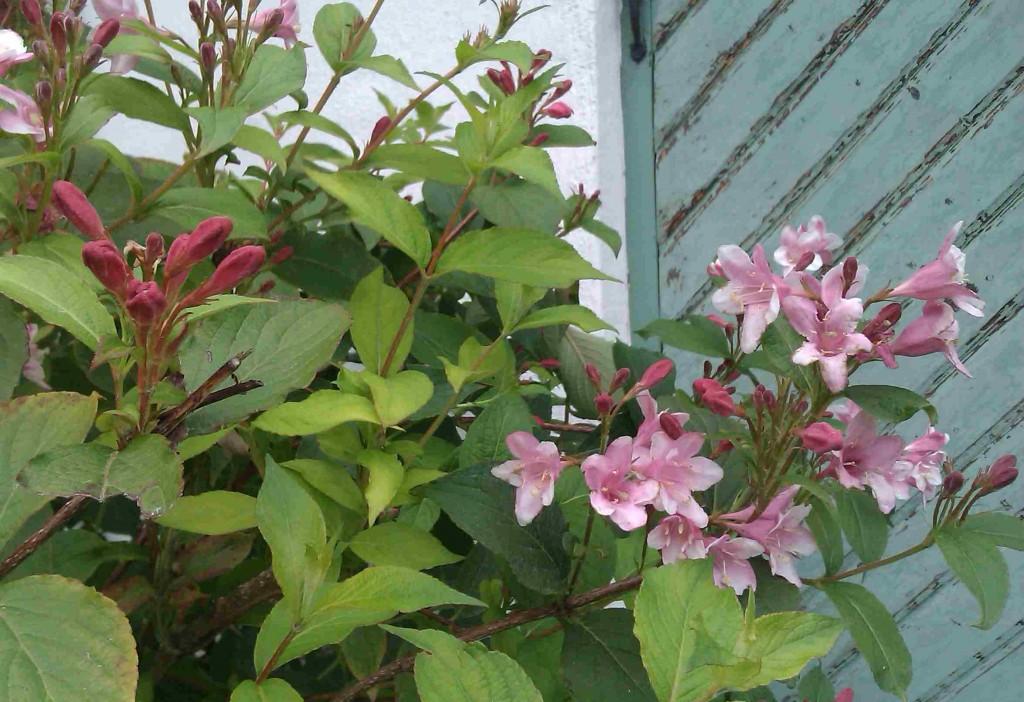 Weigelan blommar gärna om till hösten om den blir beskuren.