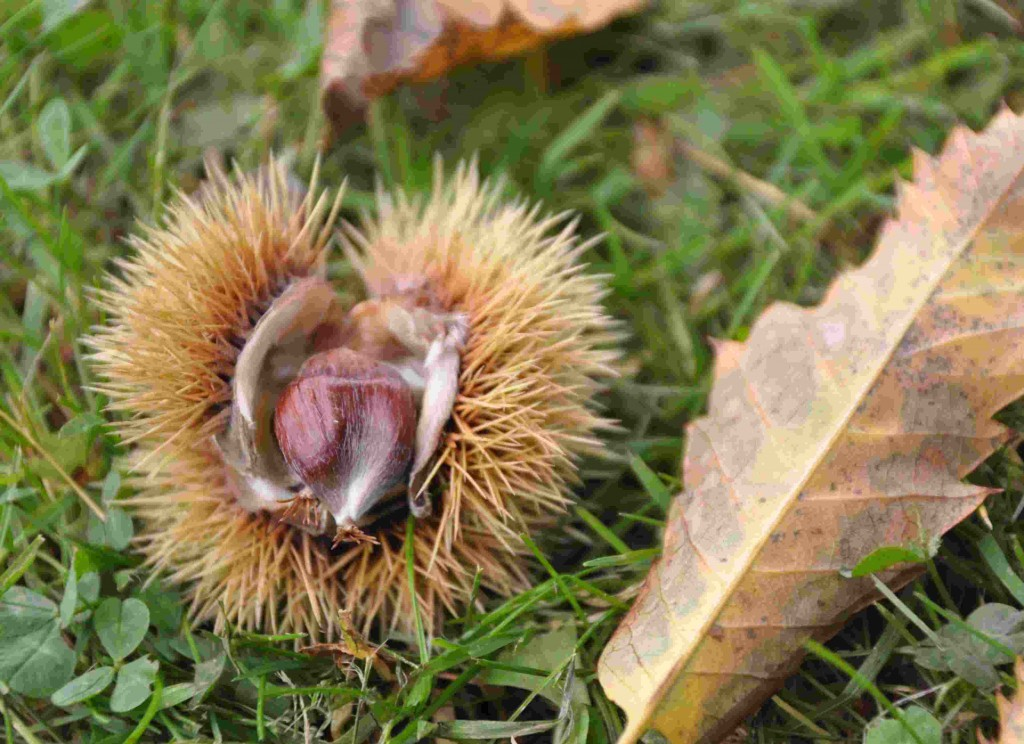 Den äkta kastanjens frukt sitter inne i ett mycket taggigt skal.