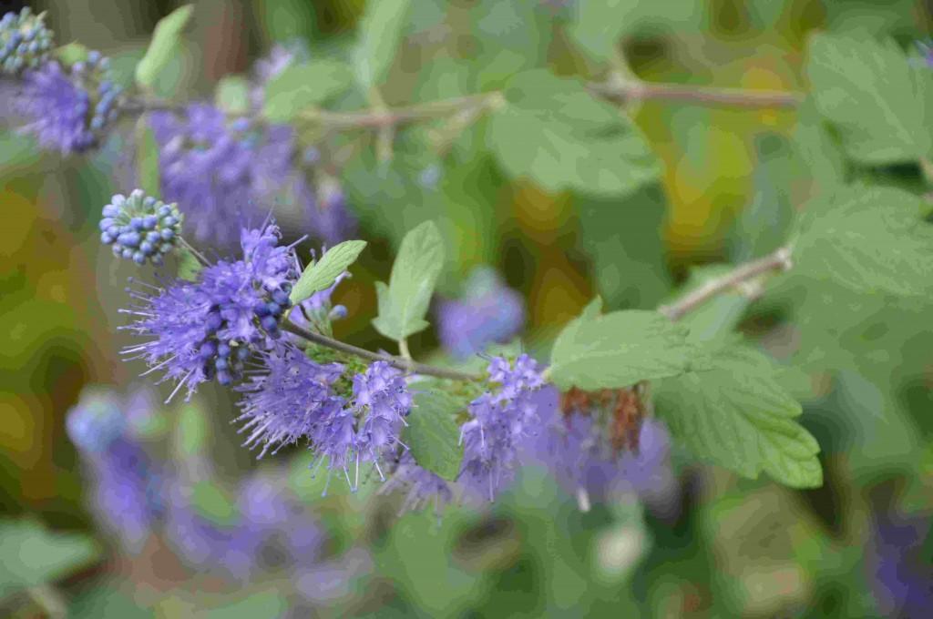 Skäggbusken har en sen höstblomning i ljusblått.