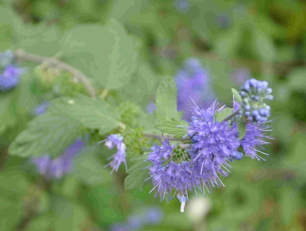 Skäggbuskens blad doftar som lavendel.