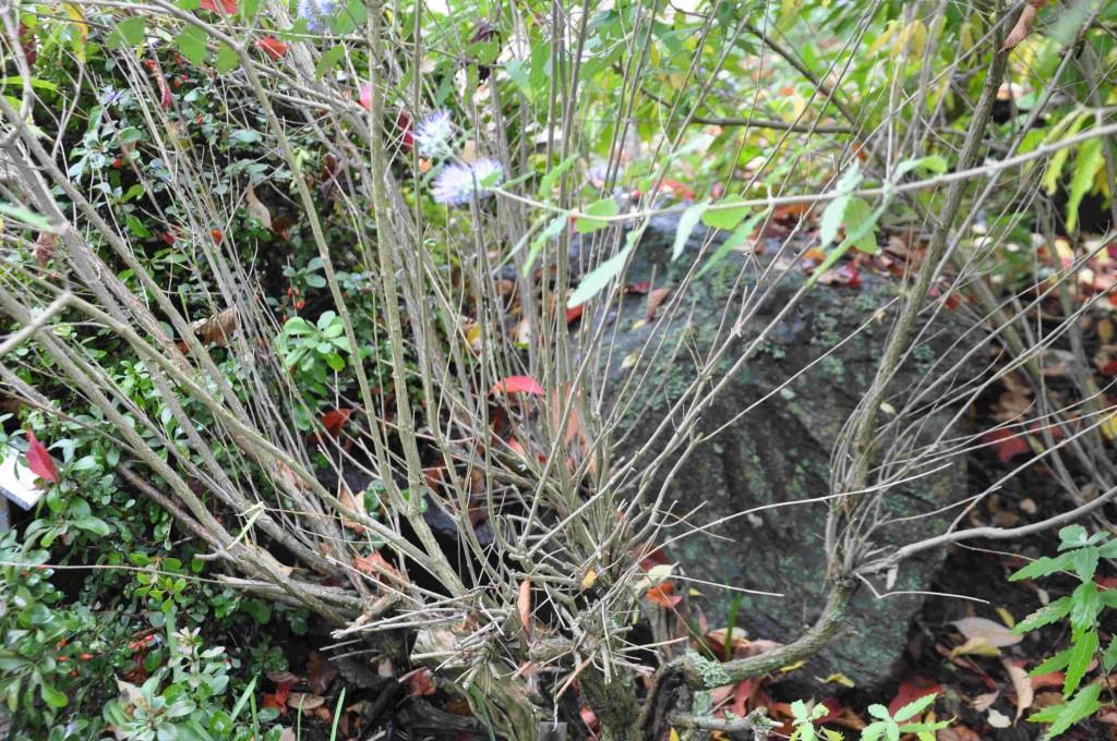 Torra grenar på en skäggbuske som frusit under vintern.