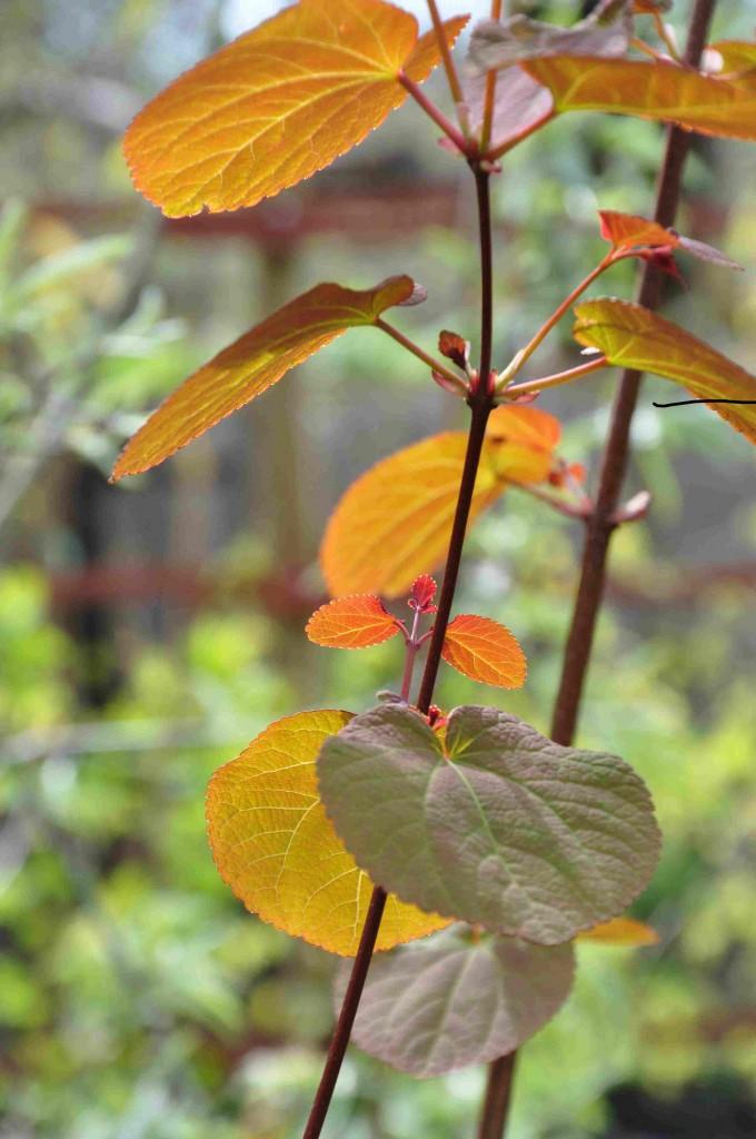 Katsuran har bronsfärgade blad på våren.
