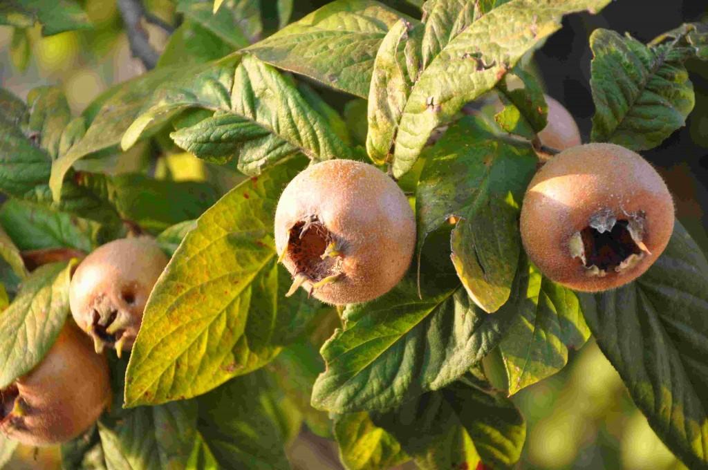 Mispelfrukten har lång mognadstid.