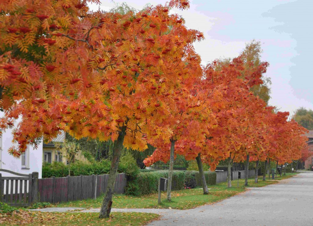 Dodongrönn är ett vacert litet träd med fin höstfärg.