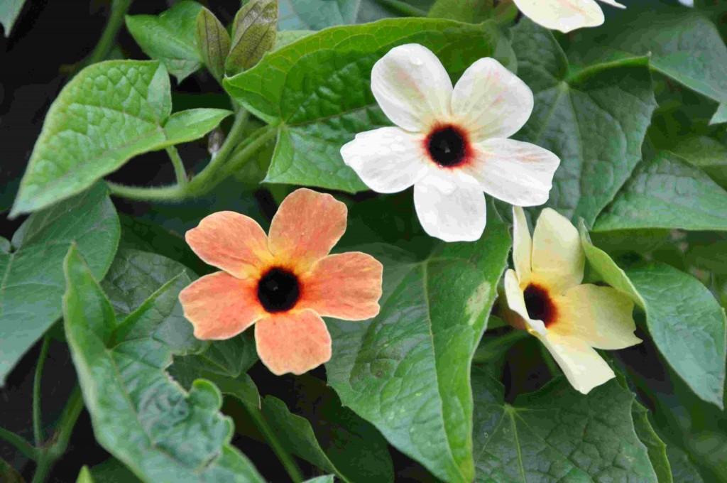Svartögat är en snabbväxande ettårig växt för blomsterkoner.
