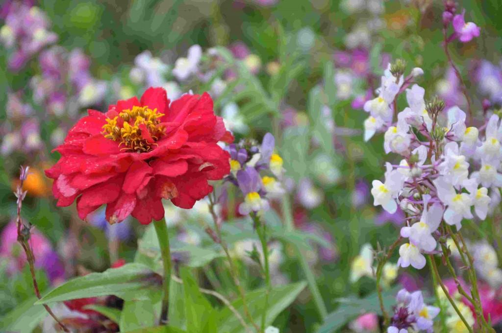 Blomsterfrö kan sås ut som färdig ängsblandning för vildare rabatter.