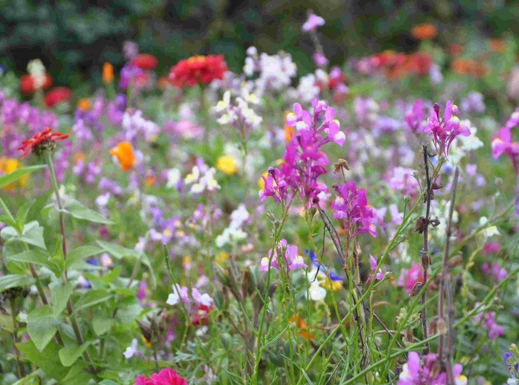 Blomsteräng i färdig fröblandning för större ängsytor i offentlig miljö.