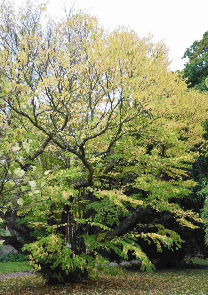 Katsuran blir ett karaktärsfullt, flerstammigt träd eller stor buske.