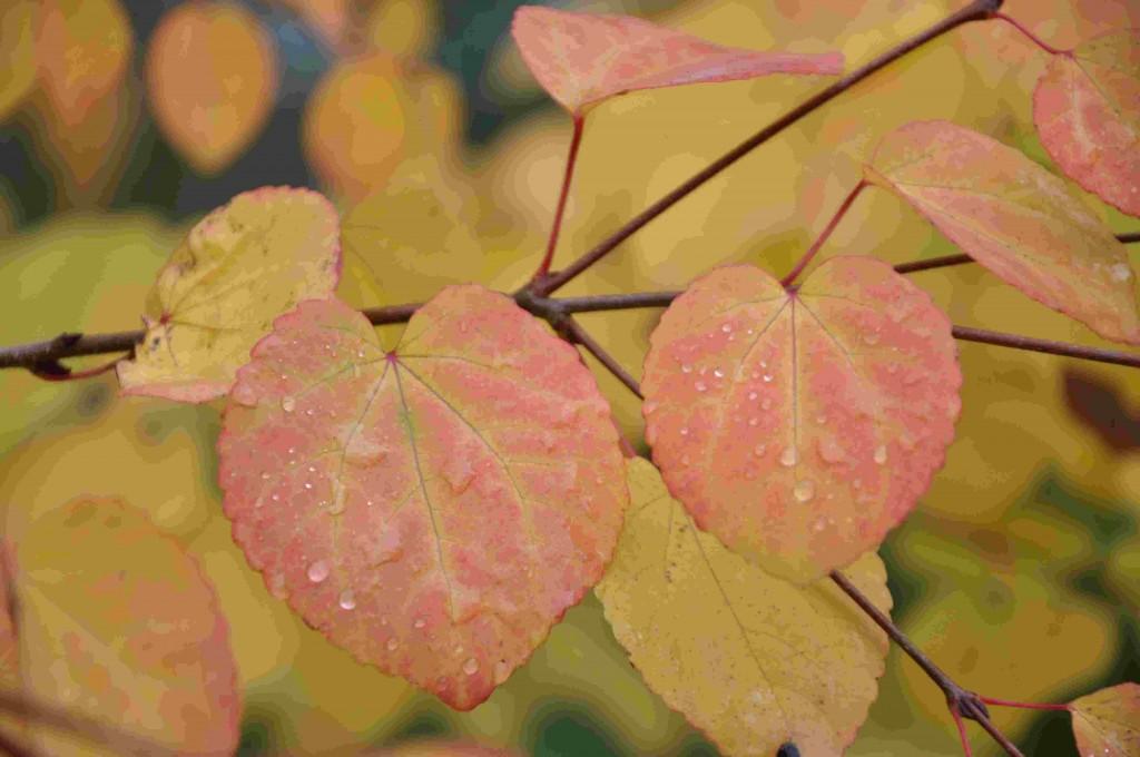 Hjärtformade blad med vackra höstfärger och en doft av jordgubbssylt på katsuran i höst.