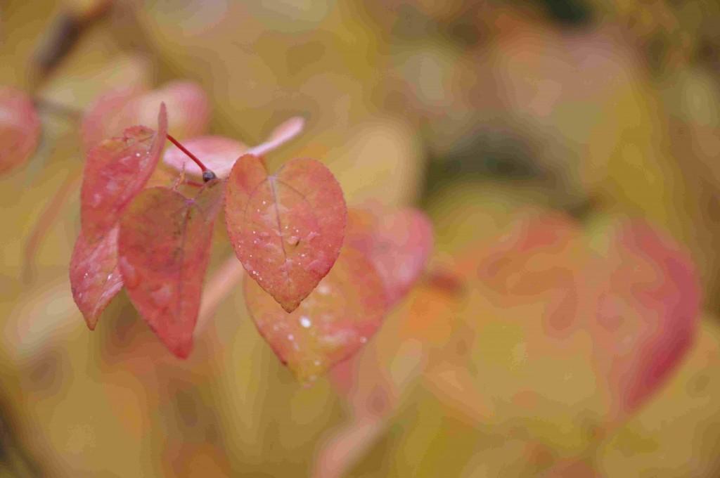Katsuran är ett fuktälskande träd som passar vid vatten.