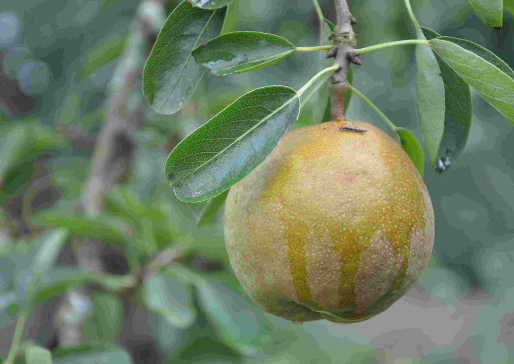 Päronen blir efter hand hårda och osmakliga när päronrosten härjar.