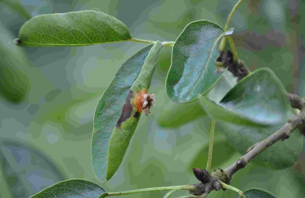 Rostfläckar på päronens blad ger taggliknande utskott på bladens undersidor.