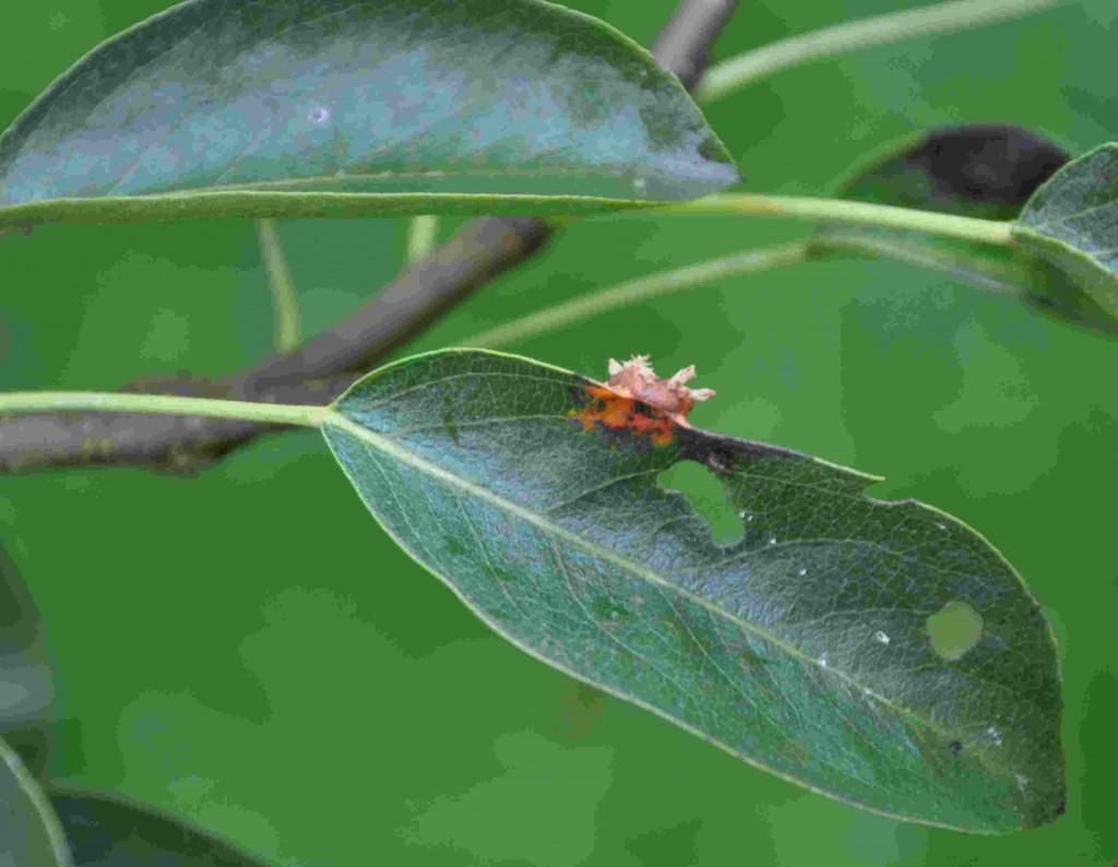 Päronrosten försvagar päronträdet så hårt att det kan dö.