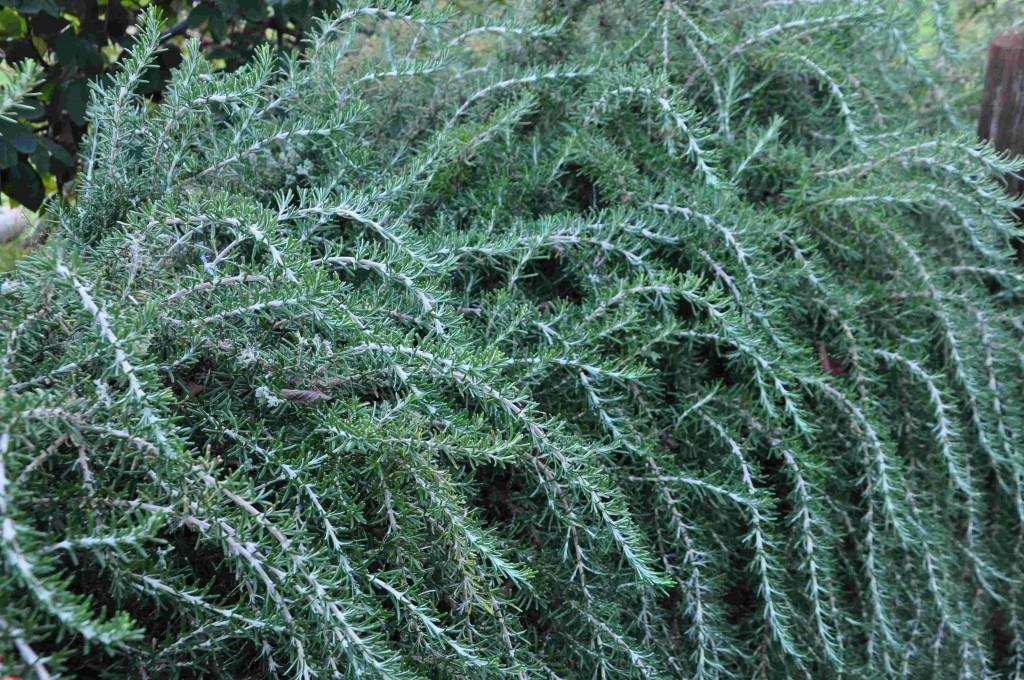 Rosmarin växer både krypande och upprätt.