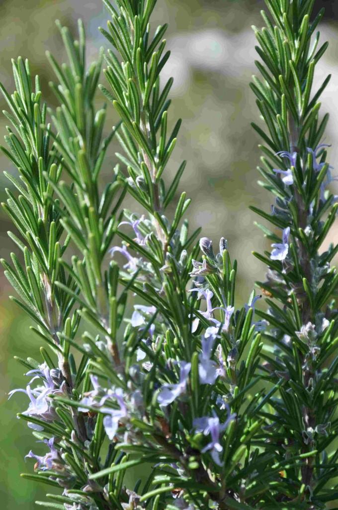 Rosmarinen blommar med ljusblå blommor om den övervintrat väl.