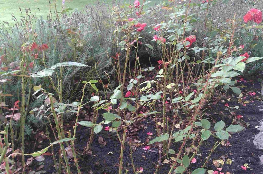 Svartfläcksjukan angriper rosor under fuktiga somrar.
