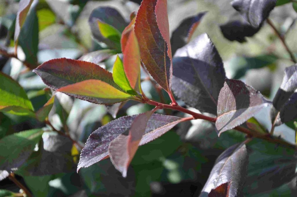 Svartaronian Glorie E är en låg och kompakt buske som passar under fönster i soliga lägen.