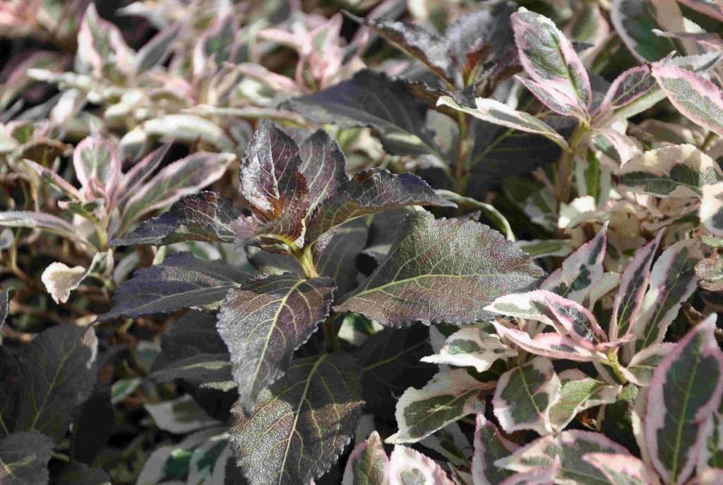 Brokbladigt rosenprakttry passar i massplanteringar blad grönbladiga buskar.
