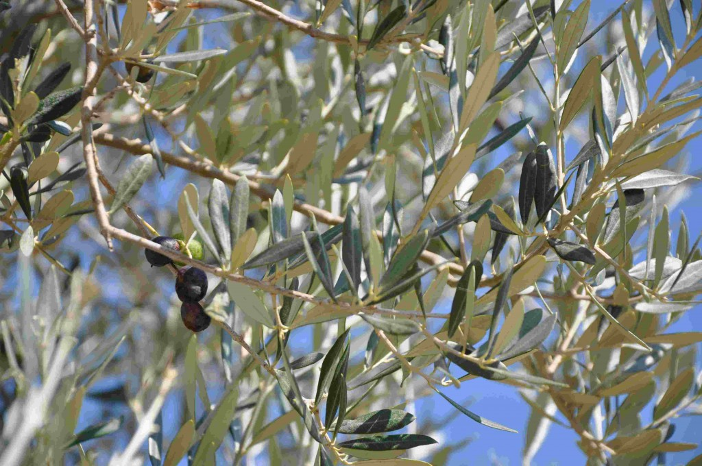 Olivträden bildar frukt på årsskotten och blommar efter en liten köldperiod.