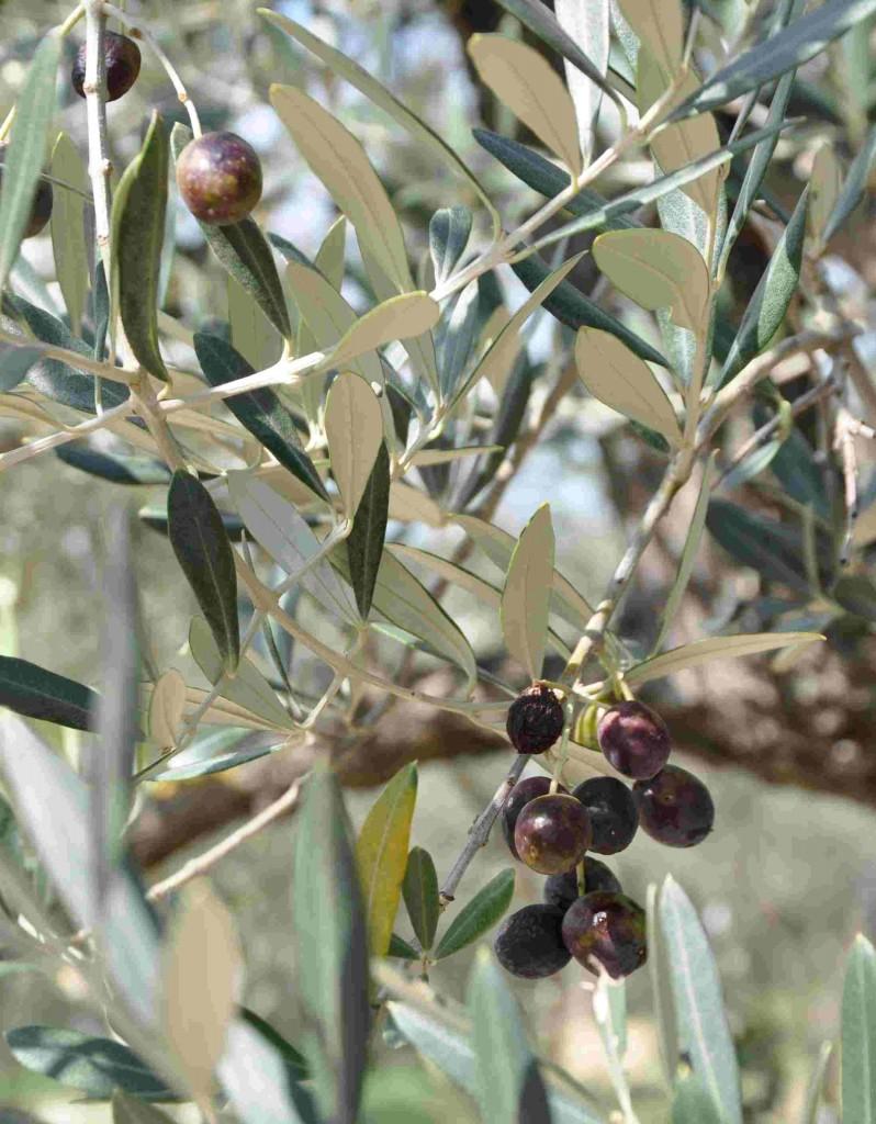 Olivträdets frukter måste ligga i saltlake innan de kan ätas.