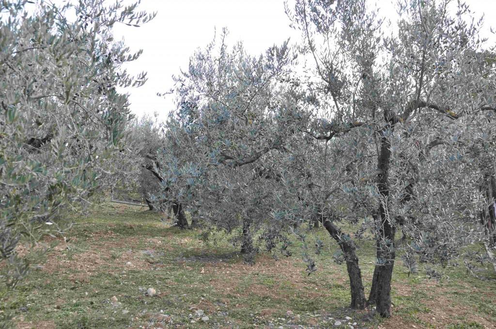 Olivträdet trivs i en stenig jord med god dränering.