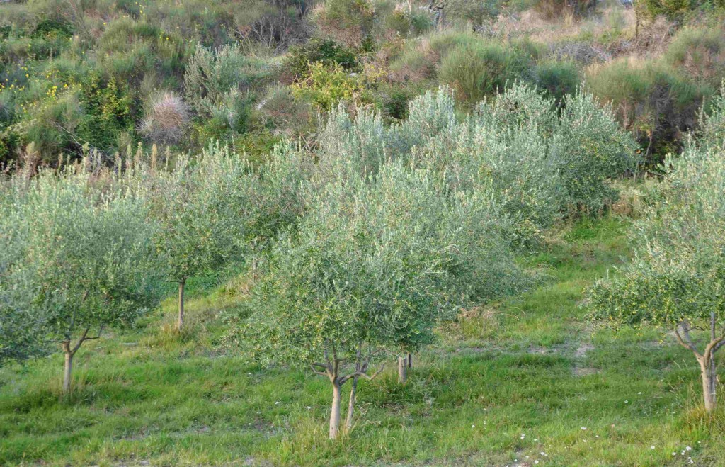 Olivträden trivs i en solig slänt i stenrik jord.