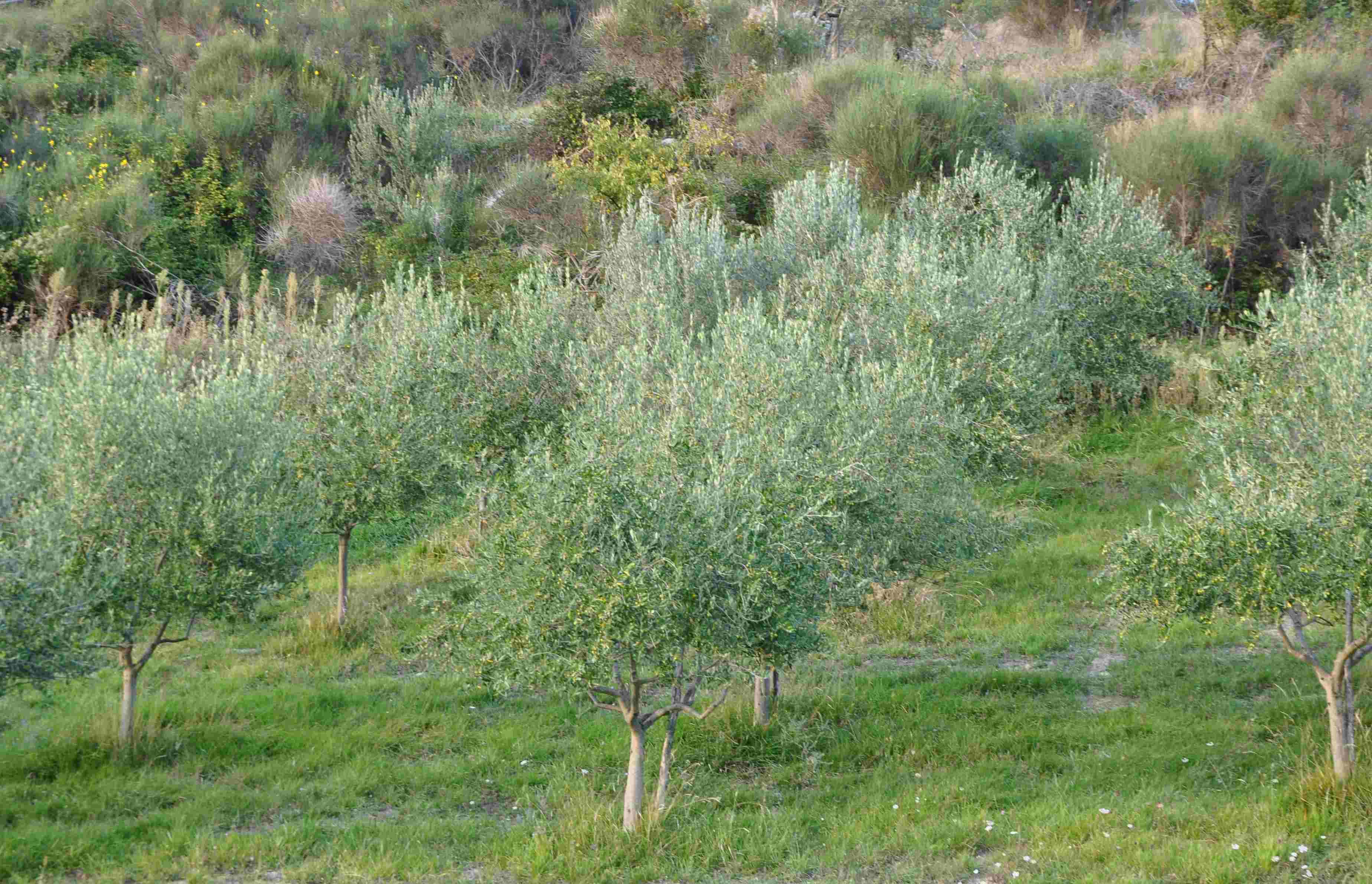 Jord till olivträd