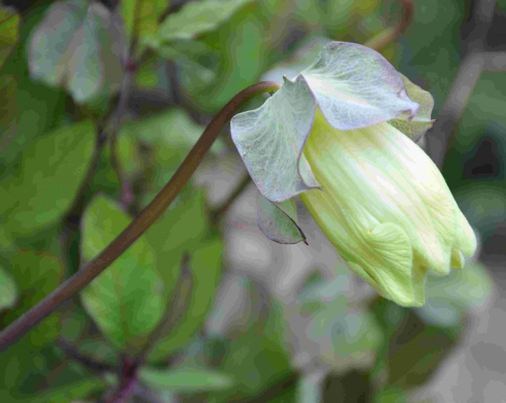 Klockrankan har vita knoppar som småningom blir mer lila i färgen.