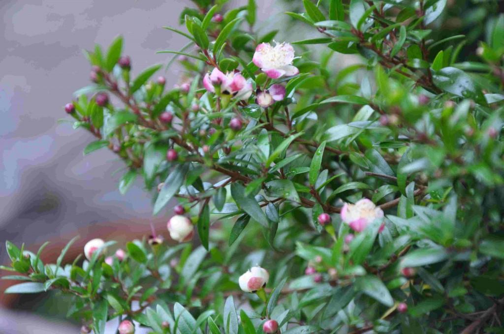 Myrten har små ljusrosa blommor över hela busken.