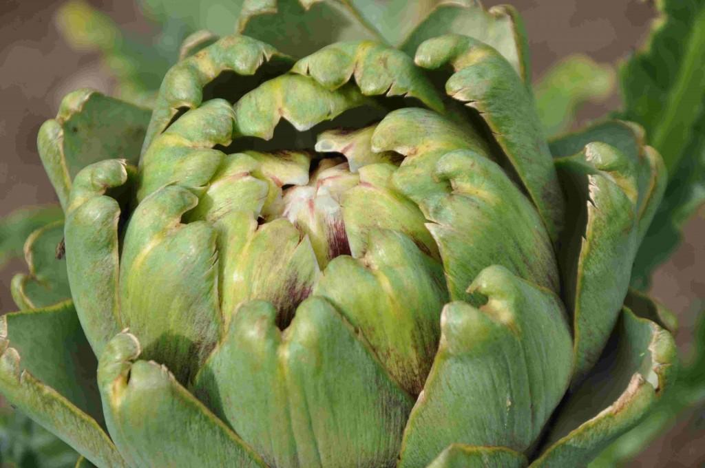 På kronärtskockan är det blombotten i knoppen man äter.