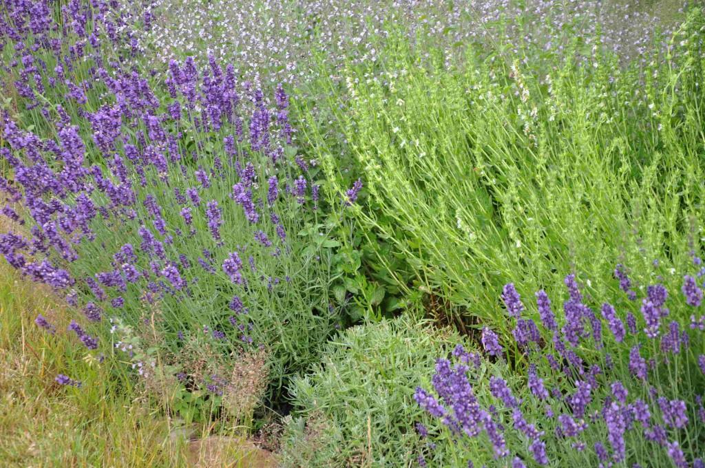 Lavendeln kan blomma flera gånger per säsong, eller försenas i blomningen om man klipper ner den innan knoppsättning.